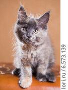Купить «Котенок породы мейн-кун», фото № 6573139, снято 5 августа 2014 г. (c) Gagara / Фотобанк Лори