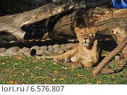 Купить «Львица в Московском зоопарке», эксклюзивное фото № 6576807, снято 28 сентября 2014 г. (c) lana1501 / Фотобанк Лори
