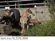 Купить «Европейский волк в Московском зоопарке», эксклюзивное фото № 6576999, снято 28 сентября 2014 г. (c) lana1501 / Фотобанк Лори