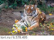 Купить «Амурский тигр», фото № 6578495, снято 16 октября 2014 г. (c) Сергей Рыжков / Фотобанк Лори