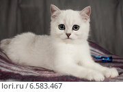 Купить «Британский котенок белого цвета», фото № 6583467, снято 16 января 2019 г. (c) Останина Екатерина / Фотобанк Лори