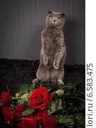 Купить «Красивый британский кот и много красных роз», фото № 6583475, снято 24 октября 2018 г. (c) Останина Екатерина / Фотобанк Лори