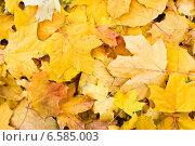 Осенние кленовые листья. Стоковое фото, фотограф Винокуров Александр / Фотобанк Лори