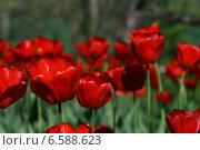 Красные тюльпаны. Стоковое фото, фотограф Анна Алексеенко / Фотобанк Лори
