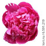 Розовый пион. Стоковое фото, фотограф Сагитова Дарья / Фотобанк Лори