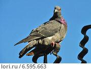 Купить «Сизый голубь (лат. Columba livia)», эксклюзивное фото № 6595663, снято 28 сентября 2014 г. (c) lana1501 / Фотобанк Лори