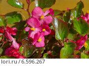 Купить «Бегония вечноцветущая (лат. Begonia semperflorens)», эксклюзивное фото № 6596267, снято 16 июня 2014 г. (c) Елена Коромыслова / Фотобанк Лори