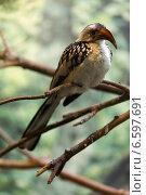 Купить «Red-billed hornbill», фото № 6597691, снято 14 мая 2014 г. (c) Яков Филимонов / Фотобанк Лори