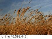 Купить «Ветер наклоняет стебли и колосья сухой травы», фото № 6598443, снято 13 октября 2013 г. (c) Анна Павлова / Фотобанк Лори
