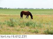 Купить «Лошадь пасётся на лугу», фото № 6612231, снято 10 июня 2014 г. (c) Руслан Шакуров / Фотобанк Лори