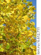 Яркие осенние листья тюльпанового дерева, фон. Лириодендрон тюльпанный (Liriodendron tulipifera L.) Стоковое фото, фотограф Ирина Борсученко / Фотобанк Лори
