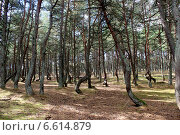 Лес танцующих деревьев (2014 год). Редакционное фото, фотограф Заздравнова Татьяна / Фотобанк Лори