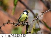 Купить «Большая синица», фото № 6623783, снято 4 ноября 2014 г. (c) Игорь Архипов / Фотобанк Лори