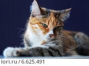 Купить «Домашняя трехцветная кошка, любимый питомец, урчит, вытянув лапу (лат. Felis silvestris catus)», фото № 6625491, снято 30 ноября 2009 г. (c) Виктория Катьянова / Фотобанк Лори