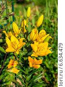 Купить «Желтая азиатская лилия цветет в саду», фото № 6634479, снято 21 июля 2013 г. (c) Ольга Сейфутдинова / Фотобанк Лори