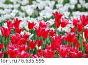 Малиновые и белые красивые тюльпаны. Стоковое фото, фотограф lana1501 / Фотобанк Лори