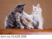 Купить «Два котенка породы мейн-кун», фото № 6635599, снято 5 августа 2014 г. (c) Gagara / Фотобанк Лори