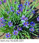 Купить «Сисиринхиум узколистный (Sisyrinchium angustifolium). Многолетнее травянистое растение семейства Ирисовые (Iridaceae).», эксклюзивное фото № 6639331, снято 25 июня 2013 г. (c) Евгений Мухортов / Фотобанк Лори