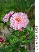 Купить «Розовая хризантема в саду», эксклюзивное фото № 6649659, снято 12 сентября 2014 г. (c) Елена Коромыслова / Фотобанк Лори