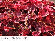 Купить «Цветущий Колеус Блюма (Plectranthus scutellarioides)», эксклюзивное фото № 6653531, снято 21 августа 2014 г. (c) Алёшина Оксана / Фотобанк Лори