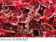 Купить «Цветок Колеус Блюма (Plectranthus scutellarioides)», эксклюзивное фото № 6654627, снято 21 августа 2014 г. (c) Алёшина Оксана / Фотобанк Лори