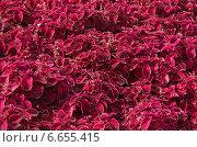 Купить «Растительный фон из листьев Колеуса (лат. Coleus)», эксклюзивное фото № 6655415, снято 8 сентября 2014 г. (c) Елена Коромыслова / Фотобанк Лори