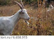 Купить «Белая коза на лугу», фото № 6658915, снято 7 сентября 2014 г. (c) Валерий Боярский / Фотобанк Лори