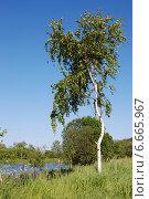 Березка на берегу пруда в Мураново Московской области, эксклюзивное фото № 6665967, снято 6 июня 2011 г. (c) lana1501 / Фотобанк Лори