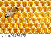 Купить «Пчела на медовых сотах», фото № 6676175, снято 31 июля 2012 г. (c) Андрей Кузьмин / Фотобанк Лори