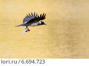 Купить «Ворона серая, Corvus cornix, Hooded Crow», фото № 6694723, снято 18 октября 2010 г. (c) Василий Вишневский / Фотобанк Лори