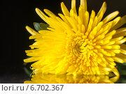 Красивая желтая хризантема. Стоковое фото, фотограф Давид Арутюнов / Фотобанк Лори