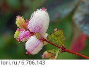 Ягоды снежноягодника в каплях росы. Стоковое фото, фотограф Ирина Черкашина / Фотобанк Лори