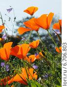 Оранжевые цветы эшшольции и колокольчики. Стоковое фото, фотограф Татьяна Кучинская / Фотобанк Лори