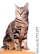 Купить «Красивая полосатая кошка», эксклюзивное фото № 6717271, снято 20 ноября 2014 г. (c) Куликова Вероника / Фотобанк Лори