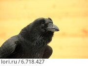 Черный ворон. Стоковое фото, фотограф Елена Кутепова / Фотобанк Лори