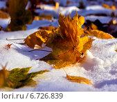 Кленовый лист на снегу. Стоковое фото, фотограф Котылко Марина / Фотобанк Лори
