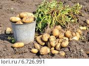 Клубни картофеля на поле. Стоковое фото, фотограф Светлана Давыдова / Фотобанк Лори