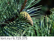 Купить «Сосна горная (лат. Pinus mugo). Шишка и хвоя крупным планом», фото № 6729375, снято 9 июня 2013 г. (c) Сергей Трофименко / Фотобанк Лори