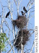 Купить «Гнезда грачей и грачи на ветках дерева на фоне неба», фото № 6732839, снято 19 мая 2013 г. (c) Василий Вишневский / Фотобанк Лори