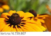 Купить «Желтый цветок рудбекии (лат. Rudbeckia)», эксклюзивное фото № 6739807, снято 23 июля 2014 г. (c) lana1501 / Фотобанк Лори