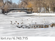 Купить «Птицы зимой плавают в пруду городского парка», фото № 6743715, снято 5 февраля 2014 г. (c) Несинов Олег / Фотобанк Лори