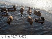 Несколько плавающих уток. Стоковое фото, фотограф Инна Остановская / Фотобанк Лори