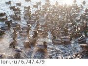Много плавающих уток. Стоковое фото, фотограф Инна Остановская / Фотобанк Лори