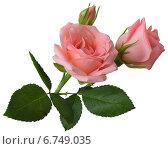 Две розовые розы с бутоном. Стоковое фото, фотограф Марина Глянь / Фотобанк Лори