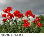 Красные маки на фоне предгрозового неба. Стоковое фото, фотограф Елена Зенкович / Фотобанк Лори