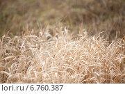 Сухой тростник. Стоковое фото, фотограф Михаил Серов / Фотобанк Лори
