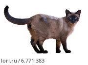 Купить «Walking Siamese cat», фото № 6771383, снято 12 декабря 2019 г. (c) Яков Филимонов / Фотобанк Лори