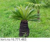 Купить «Карликовая пальма сабаль», фото № 6771483, снято 15 июля 2004 г. (c) Евгений Ткачёв / Фотобанк Лори