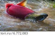 Купить «Нерка плывёт на нерест по ручью», фото № 6772083, снято 22 июля 2008 г. (c) Дмитрий УТКИН / Фотобанк Лори