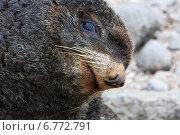Купить «Ну, иди, иди сюда...Портрет северного морского котика», фото № 6772791, снято 30 июня 2008 г. (c) Дмитрий УТКИН / Фотобанк Лори